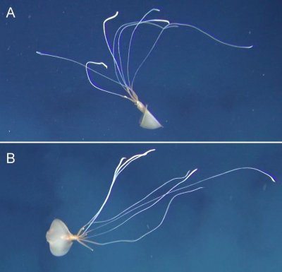 Bigfin squid
