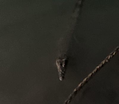 Saltwater Crocodile - Australia port