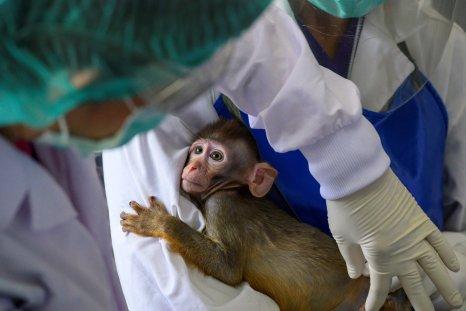 Baby Lab Monkey
