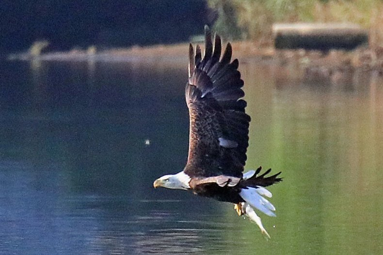 bald eagle hunting fish pond