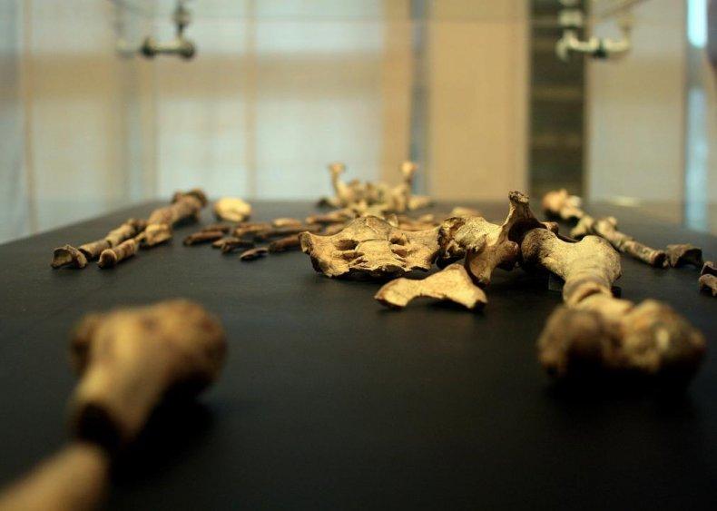 Lucy, the first Australopithecus afarensis skeleton