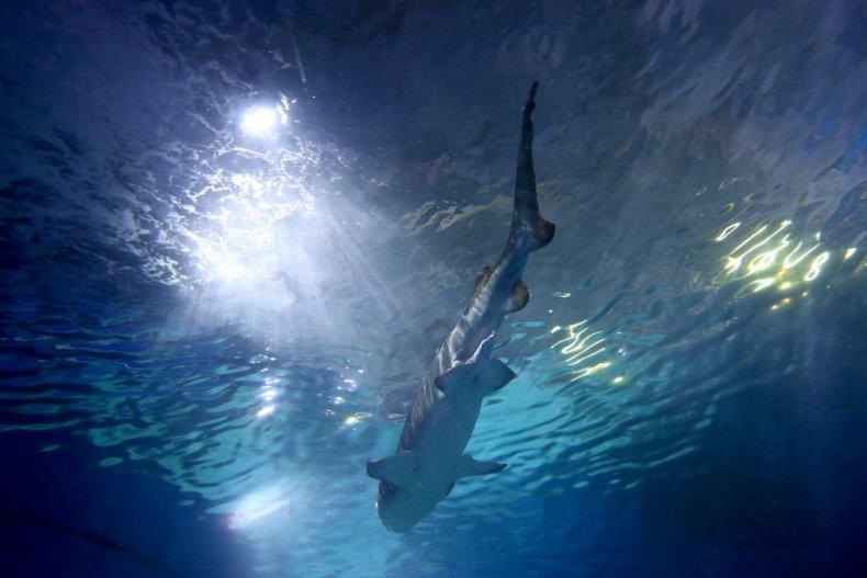 Australia Shark
