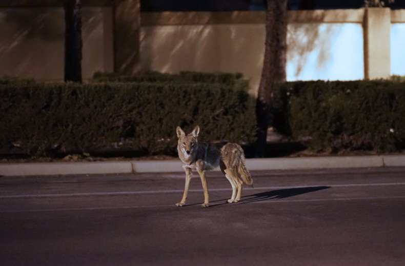 Stock: Coyote Roaming A Suburb Street