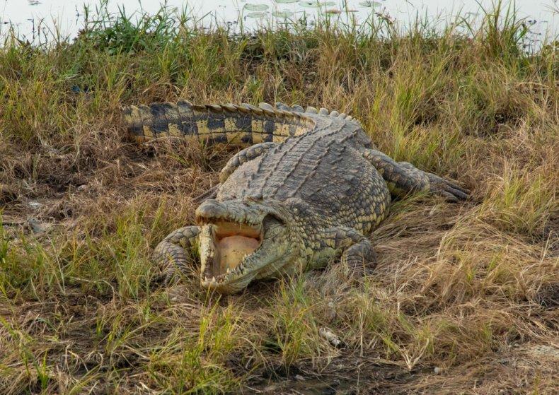 Crocodile attack