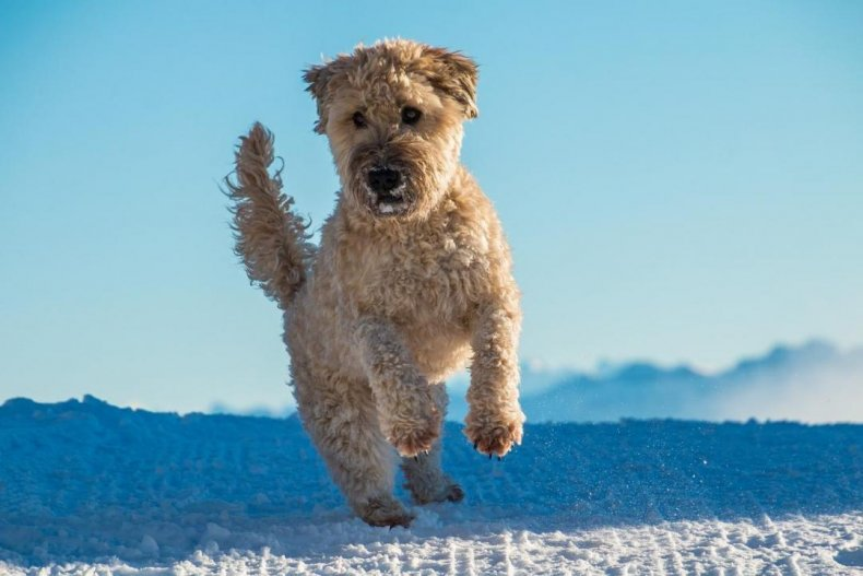 #40. Soft coated Wheaten terrier (tie)