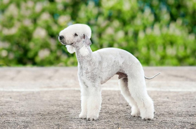 #40. Bedlington terrier (tie)