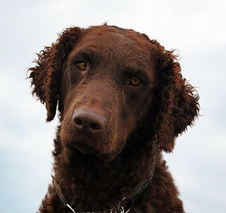 #39. Curly coated retriever (tie)