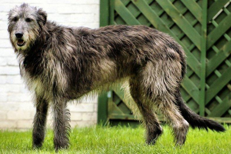 #39. Irish wolfhound (tie)