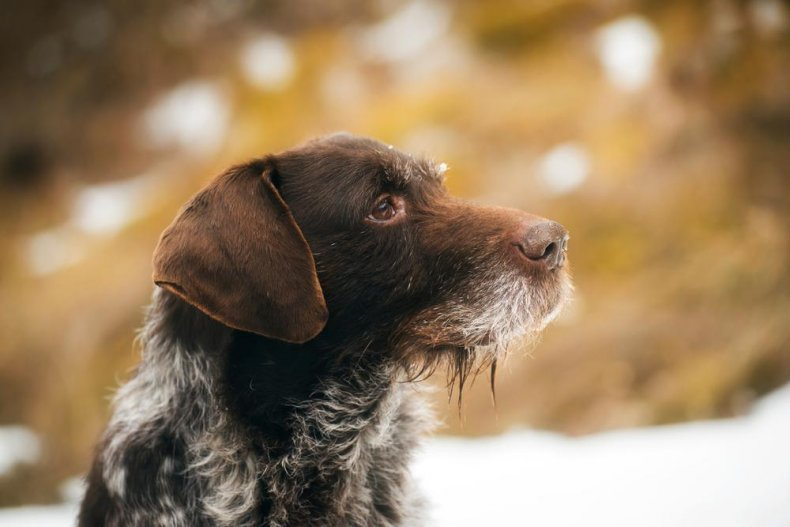 #36. German wirehaired pointer (tie)