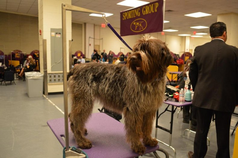 #34. Wirehaired pointing griffon (tie)
