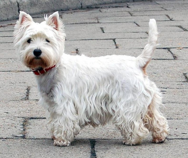 #33. West Highland white terrier (tie)