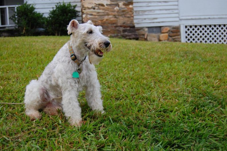 #29. Wire fox terrier (tie)