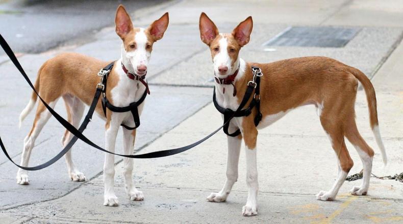 #27. Ibizan hound (tie)