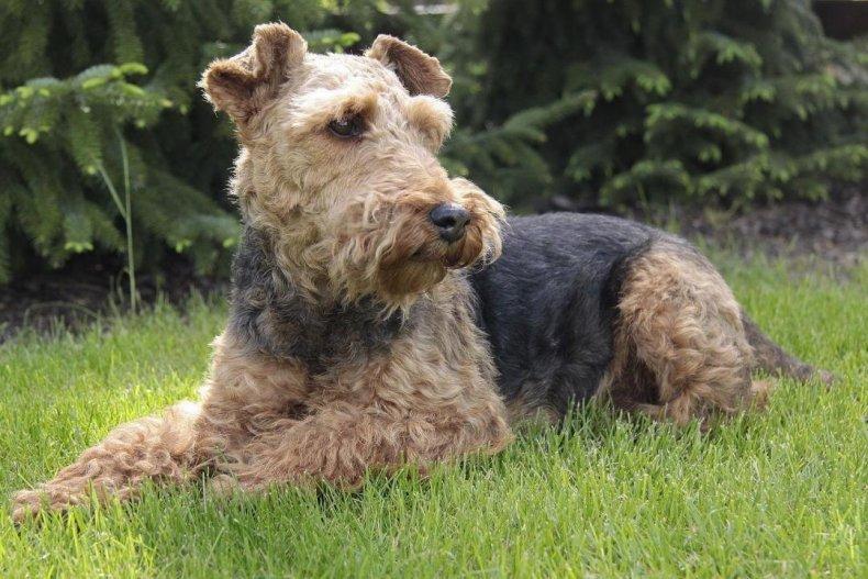 #27. Welsh terrier (tie)
