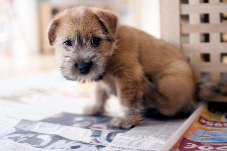 #24. Norfolk terrier (tie)