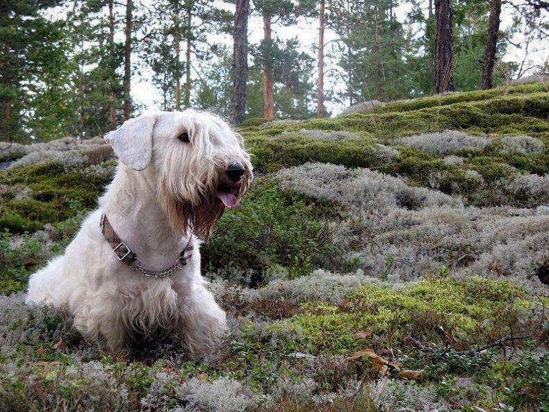 #24. Sealyham terrier (tie)