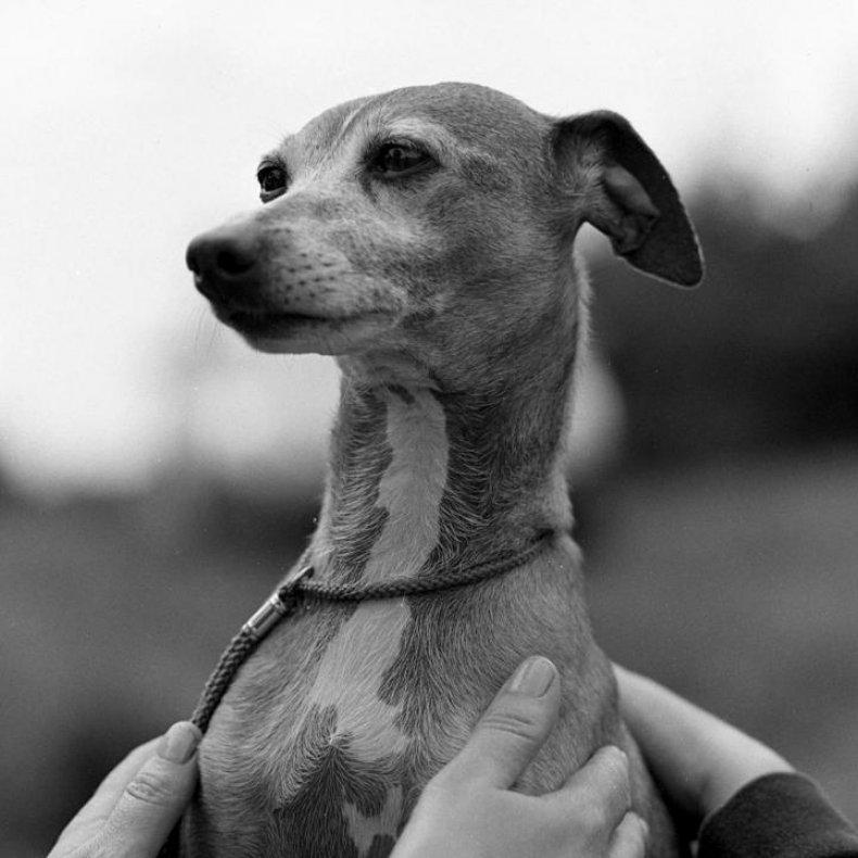 #20. Italian greyhound