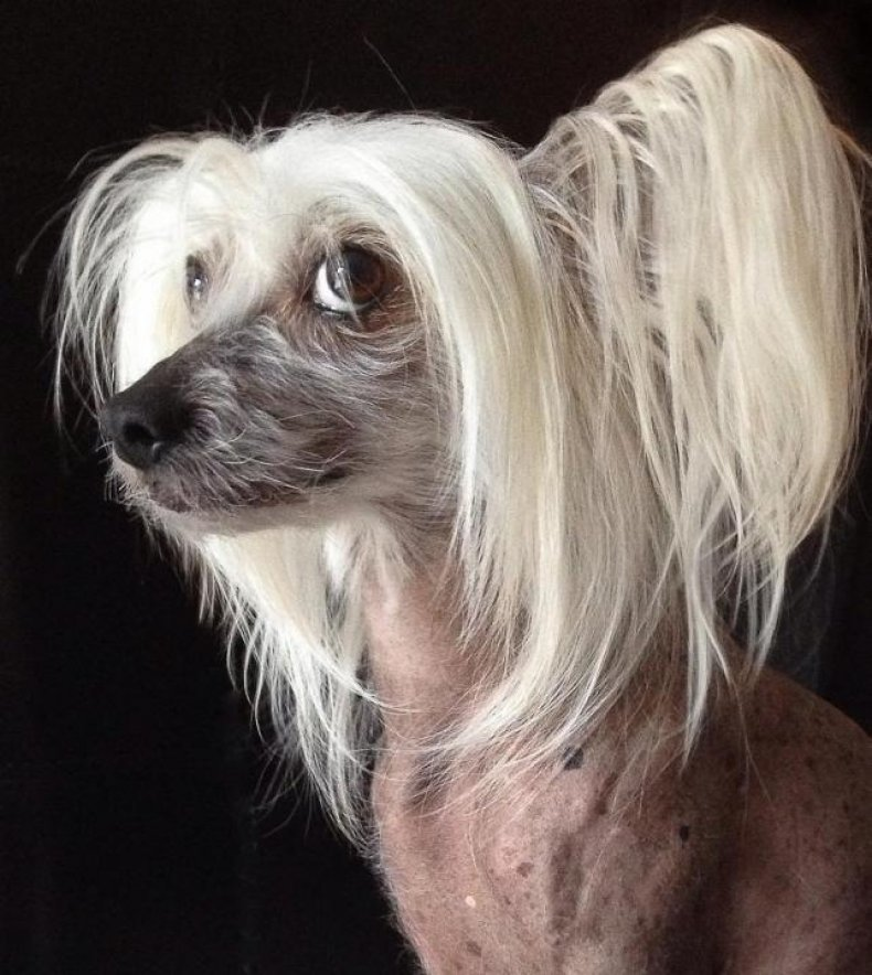 #19. Chinese crested