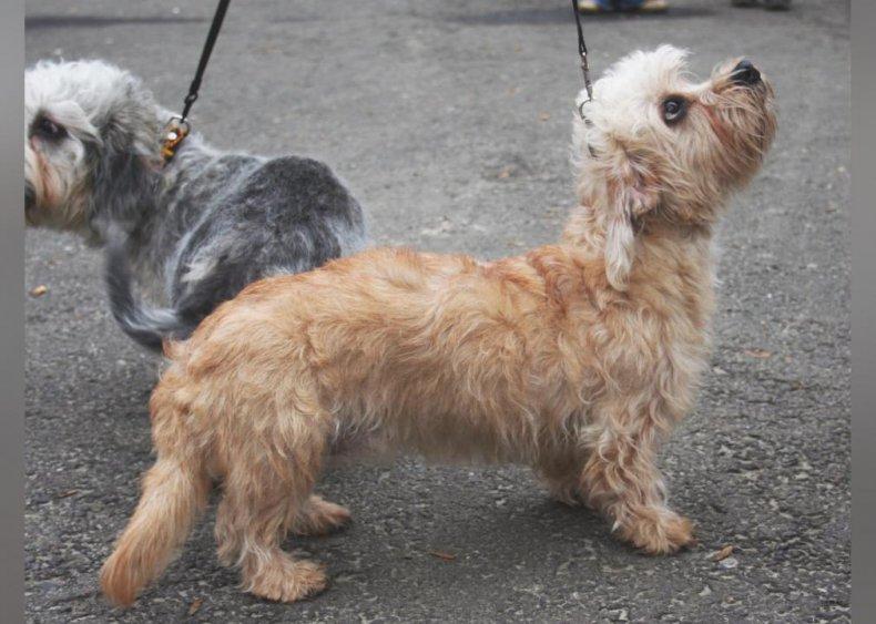 #18. Dandie Dinmont terrier (tie)