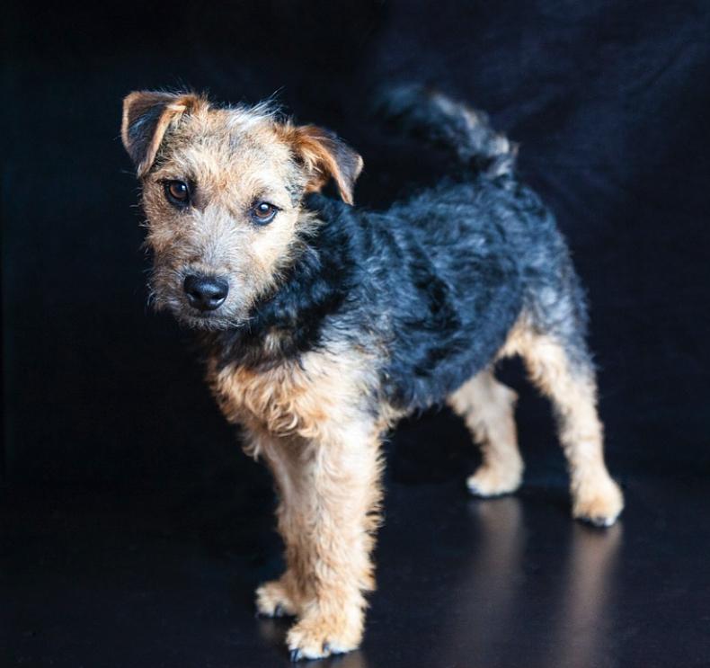#18. Lakeland terrier (tie)