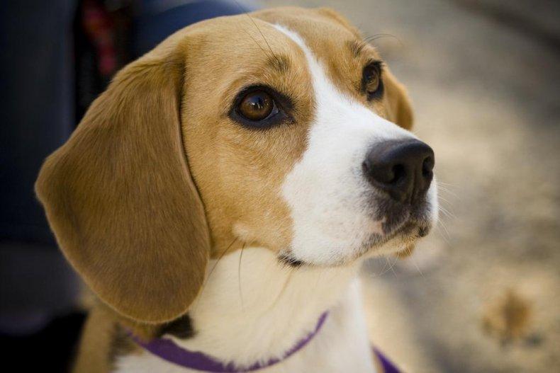 #8. Beagle (tie)