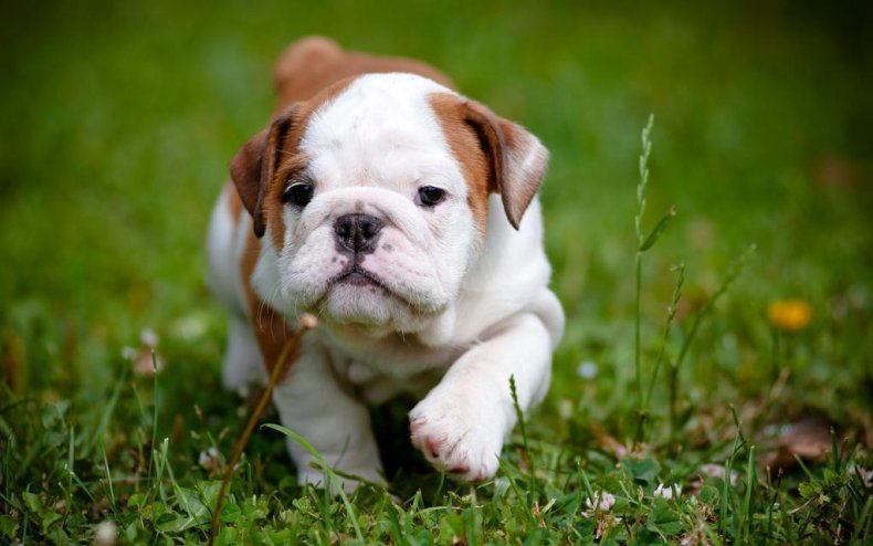#3. Bulldog