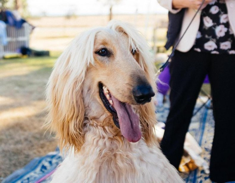 #1. Afghan hound