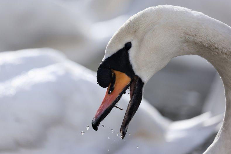 Bizarre Swan Deaths Reported in Europe As Birds Die After ...