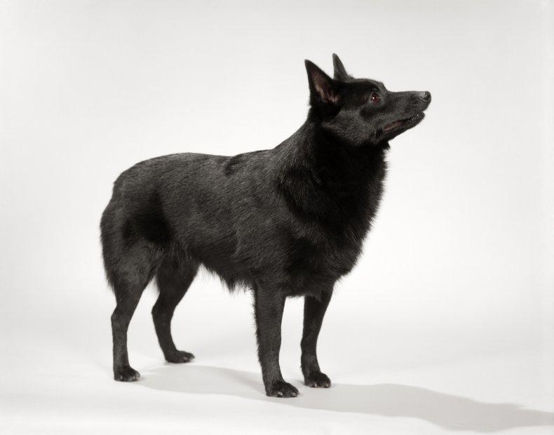 Shipperke dog