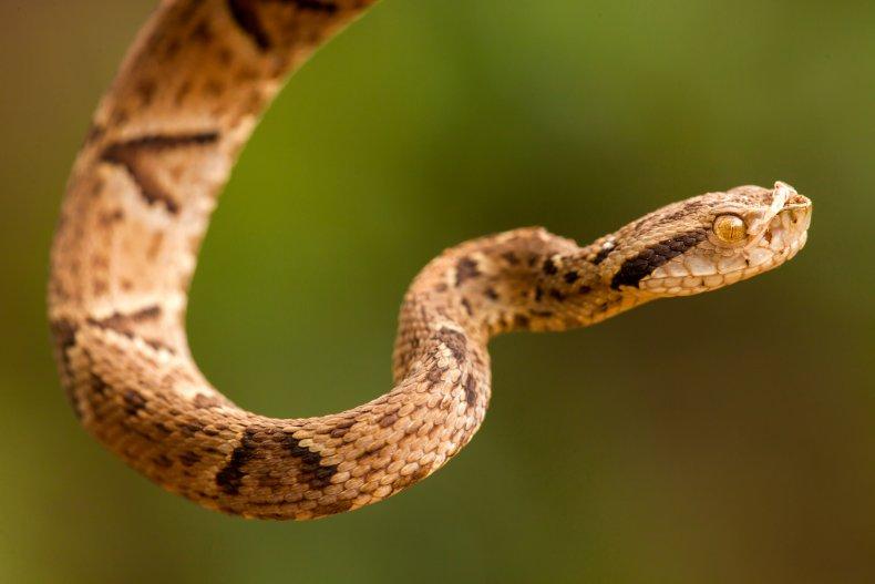 venomous bothrops jararaca snake
