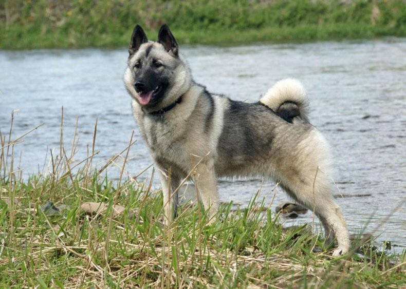 #93. Norwegian elkhound