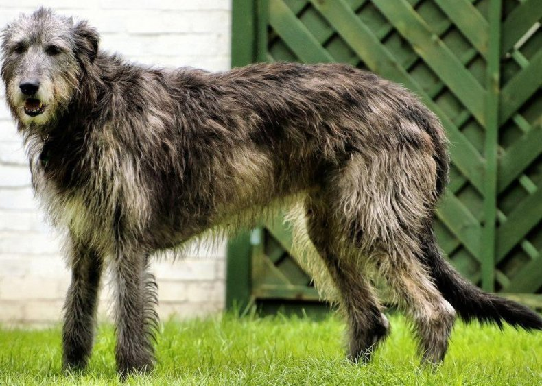 #76. Irish wolfhound