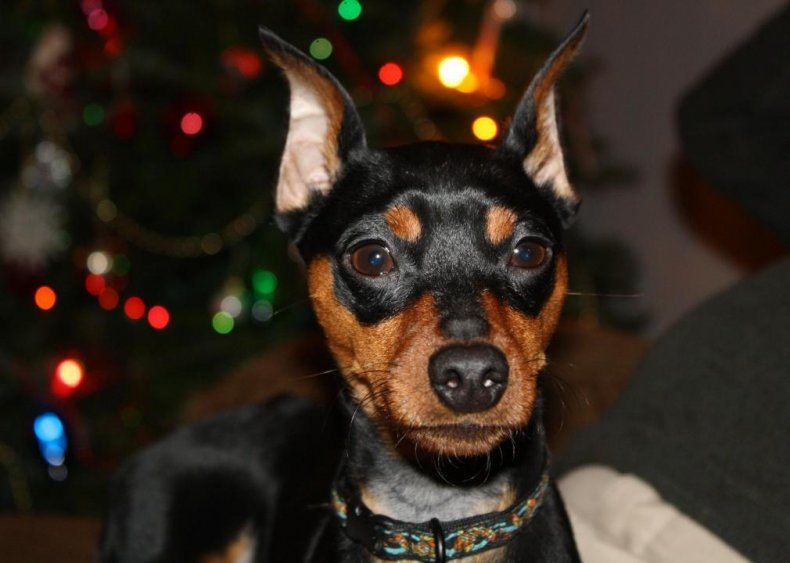 #74. Miniature pinscher
