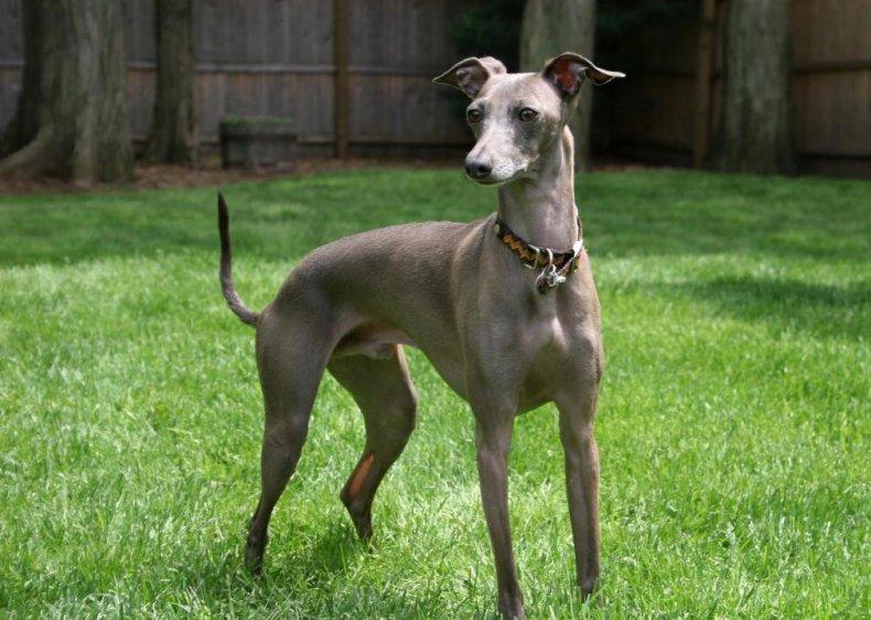 #67. Italiangreyhound