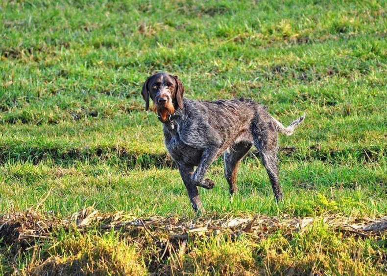 #63. German wirehaired pointer