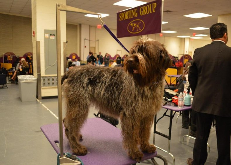 #62. Wirehaired pointing griffon
