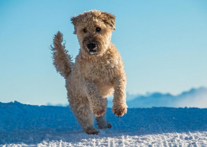 #54. Soft-coated Wheaten terrier