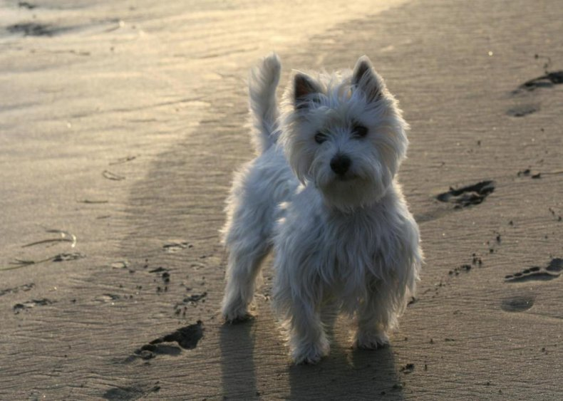 #44. West Highland white Terrier