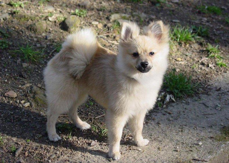#24. Pomeranian