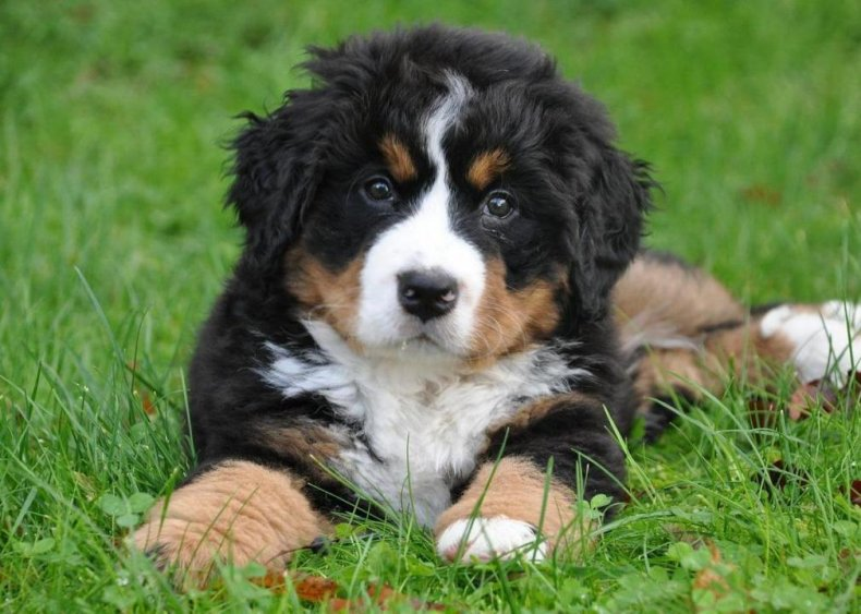 #23. Bernese mountain dog