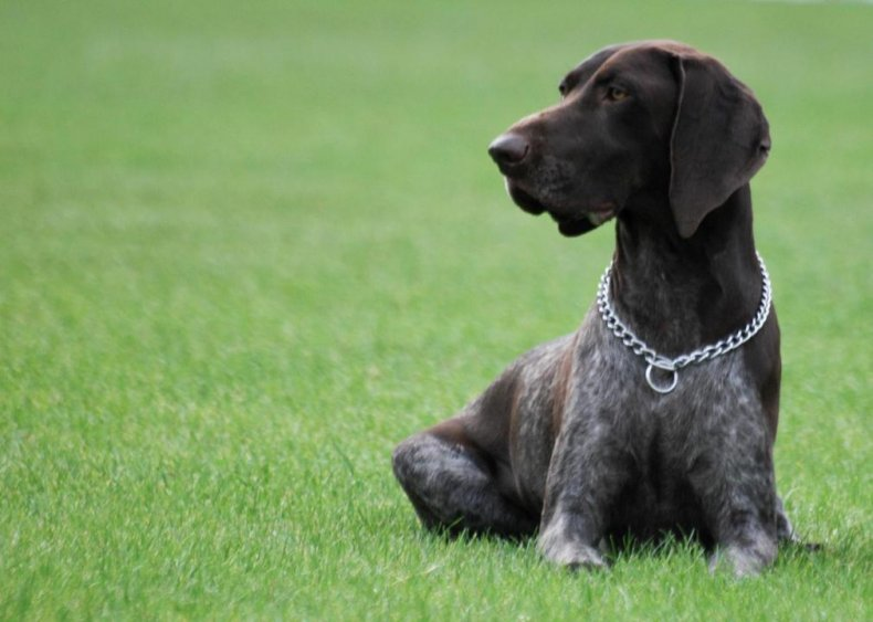 #9. German shorthaired pointer