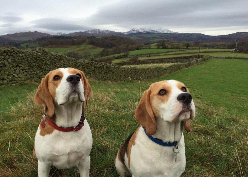 #7. Beagle