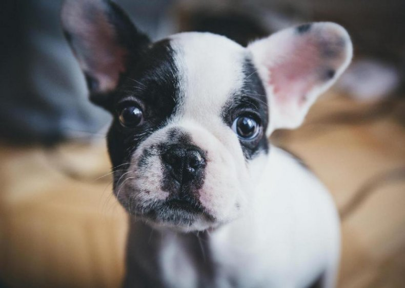 #4. French bulldog