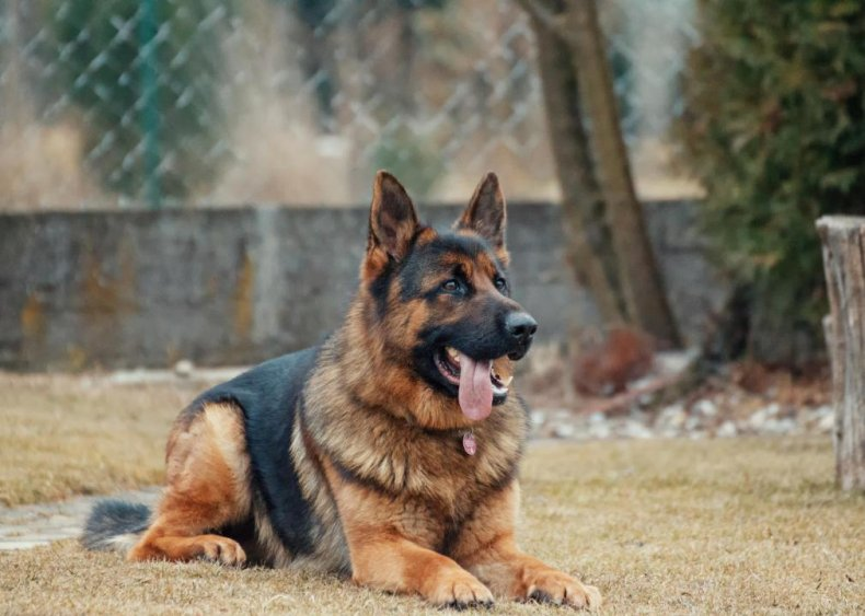 #2. German shepherd