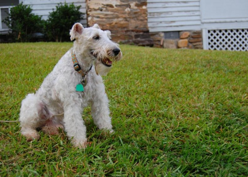 #95. Wire fox terrier