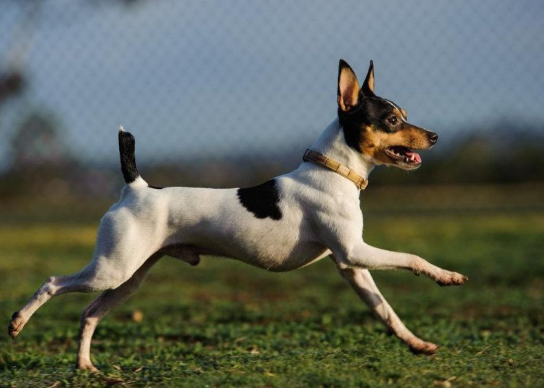 #87. Toy fox terrier