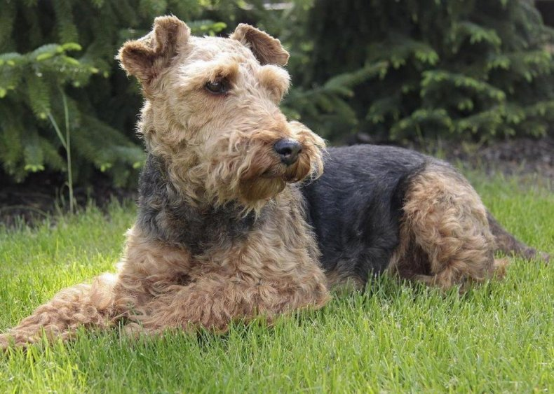 #84. Welsh terrier