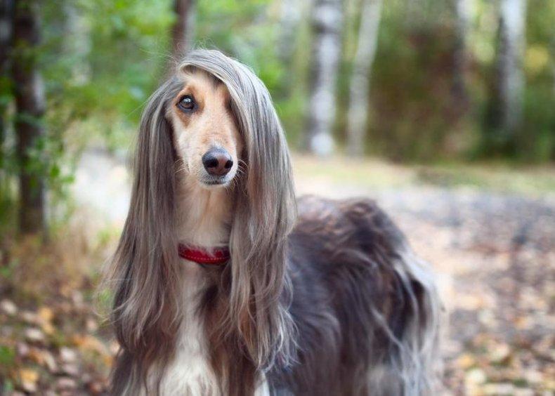 #83. Afghanhound