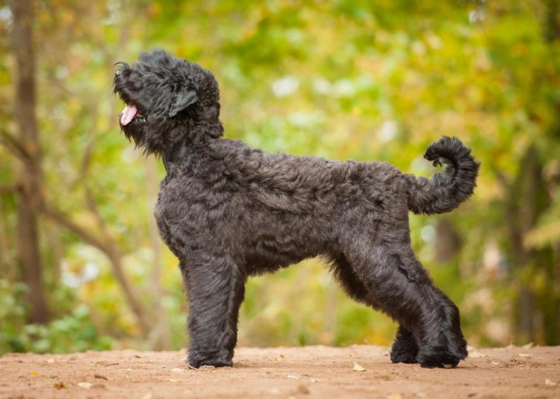#80. Black Russian terrier