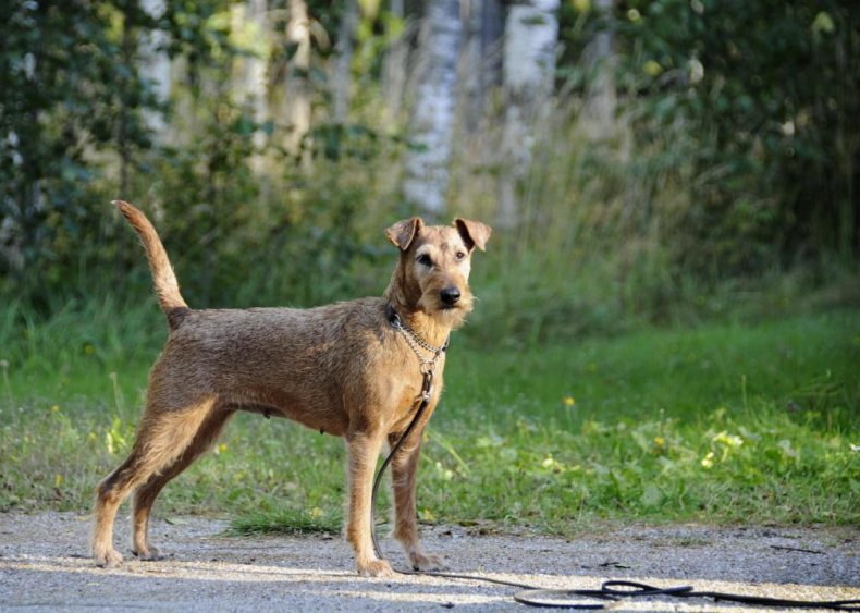 #75. Irish terrier